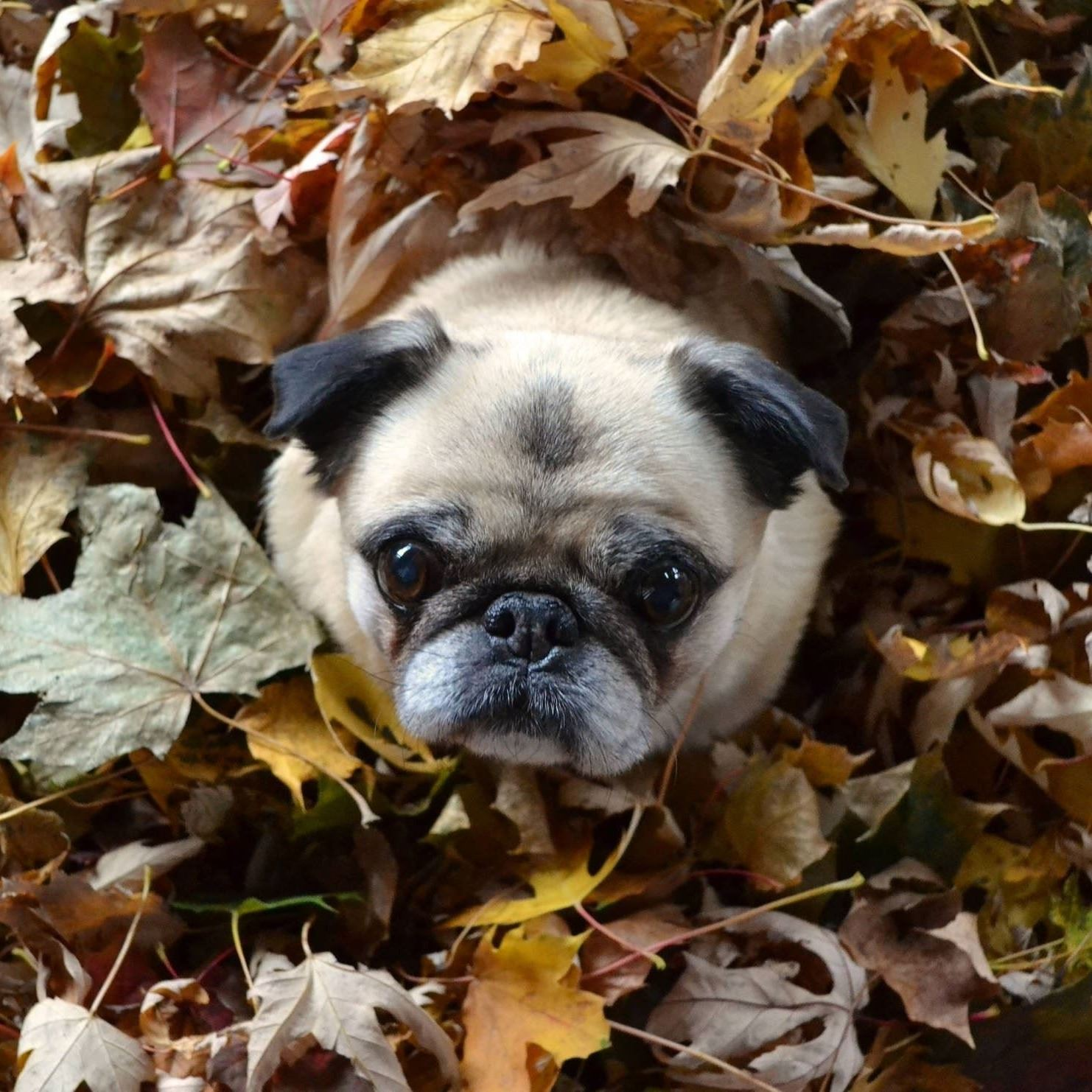 Dog in a pile of leaves